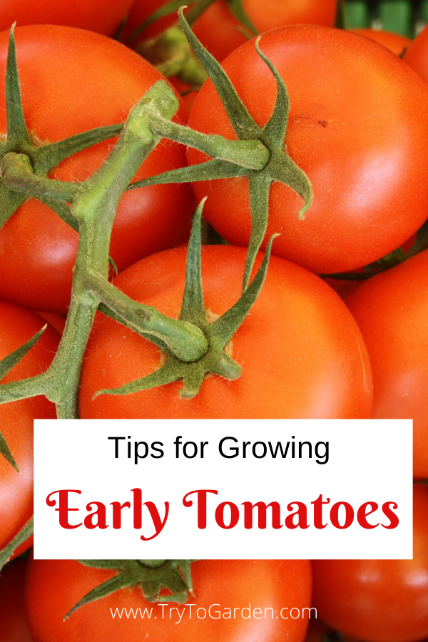 For Early Tomatoes, Try These Tomato Growing Tips