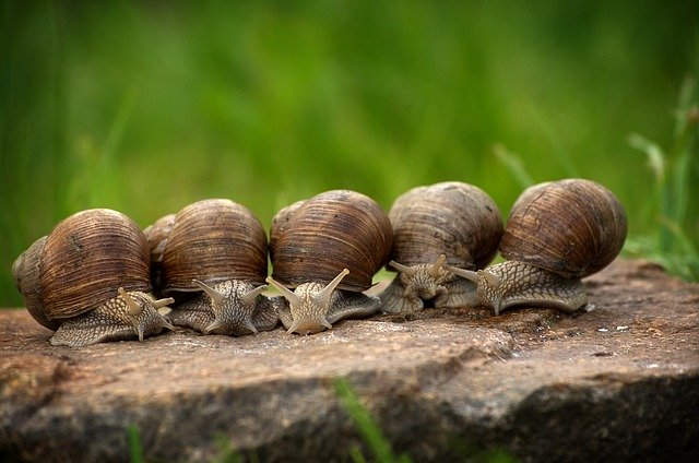 How to Get Rid of Snails in Organic Gardens