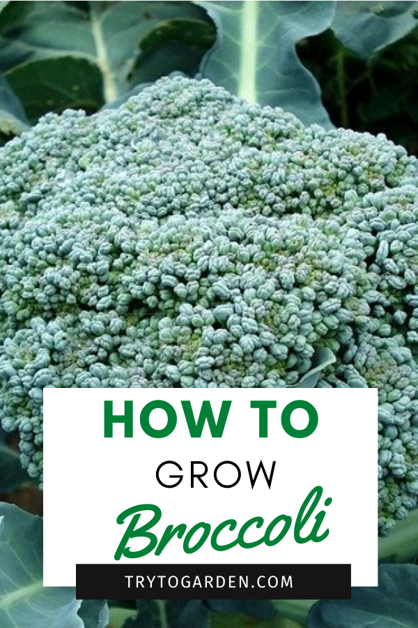 How to Plant Broccoli: a Guide for New Gardeners