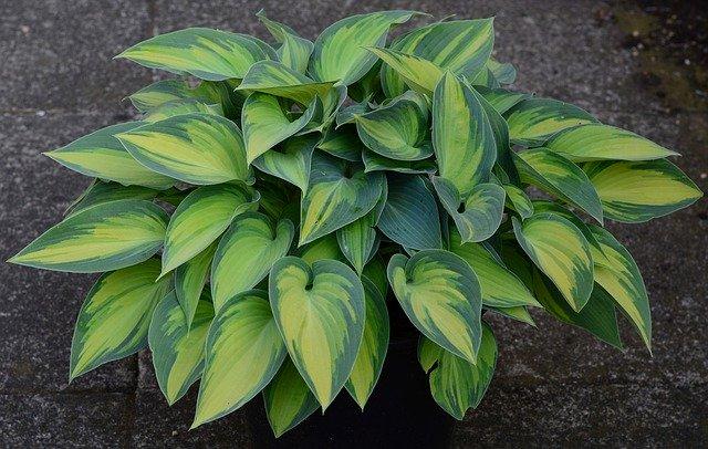 Garden Plants for Shade hosta