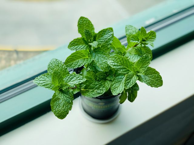 Herb Gardening Indoors - Our Tips with mint in a pot on a windowsill