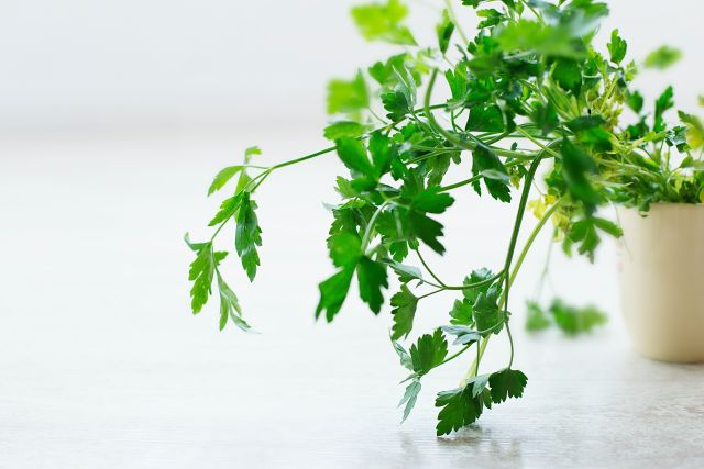 Herb Gardening Indoors - Our Tips with parsley and cilantro