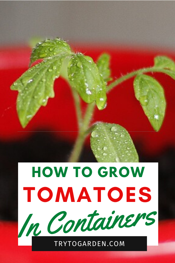 growing tomatoes in pots article cover image