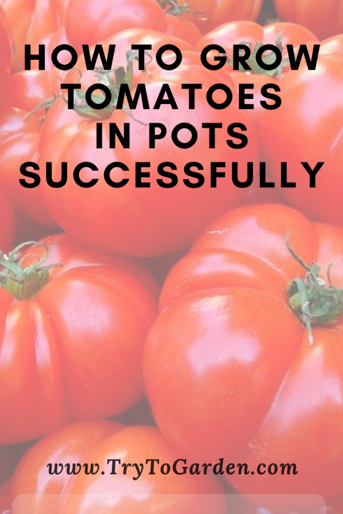 Growing Tomatoes in Pots Successfully