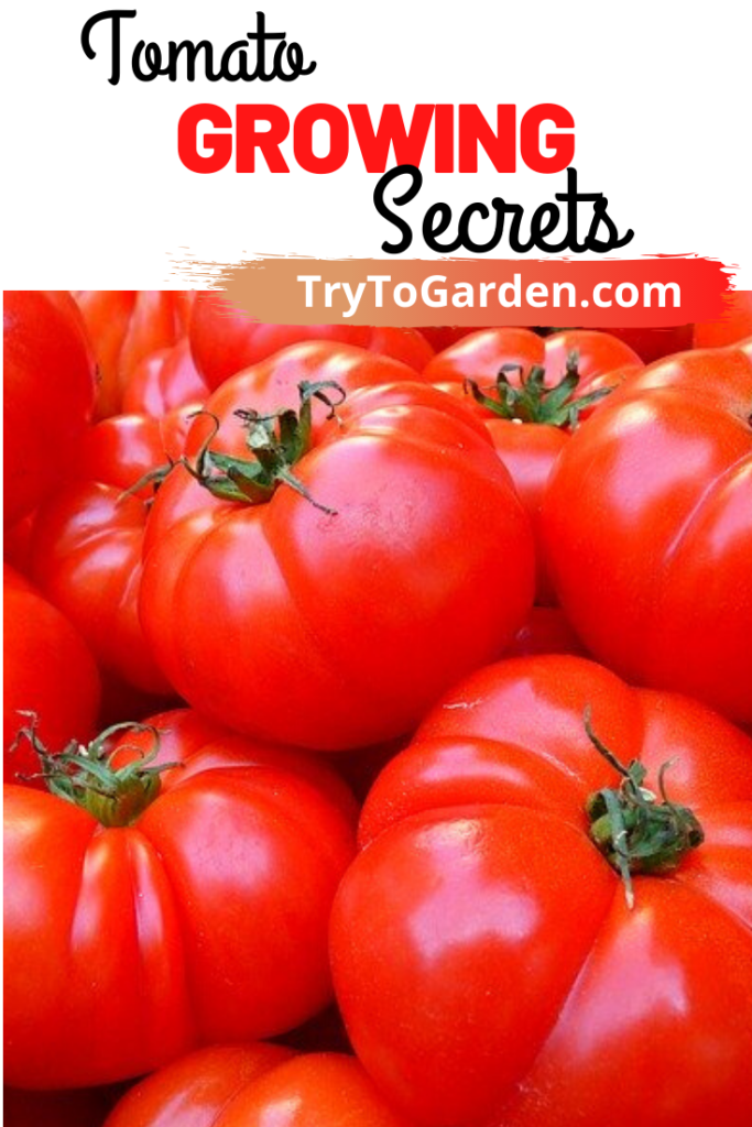 Tomato Growing Secrets to Avoid All Ripening At Once