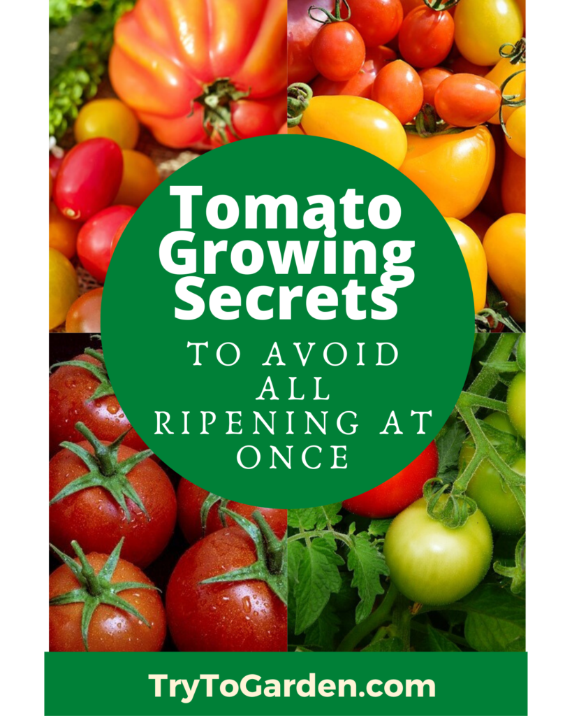 tomato growing secrets article cover image