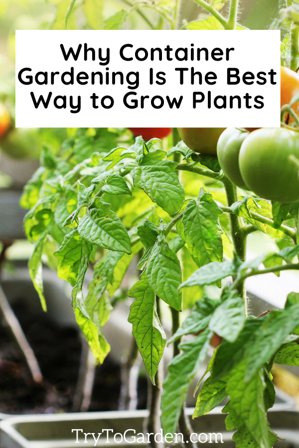 A Beginner's Guide to Container Gardening tomatoes in pots