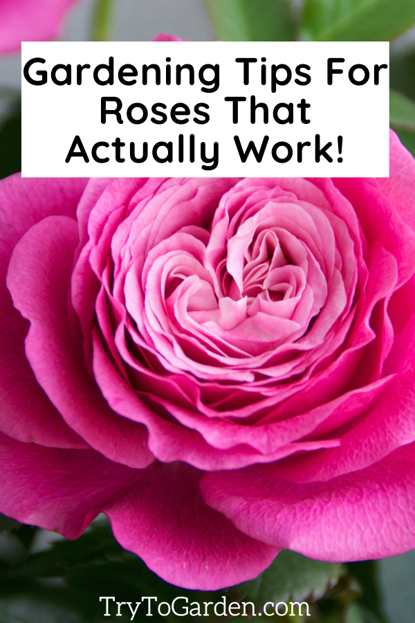 Gardening Tips For Roses That Actually Work!