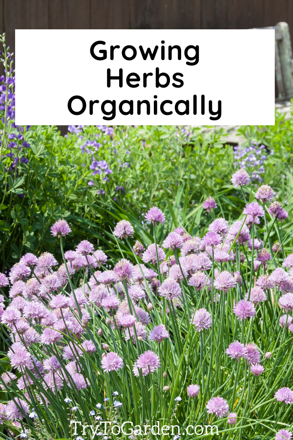 Herb Gardening Tips That Really Work! chives