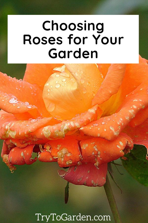 choosing roses for your garden tips for roses orange rose picture