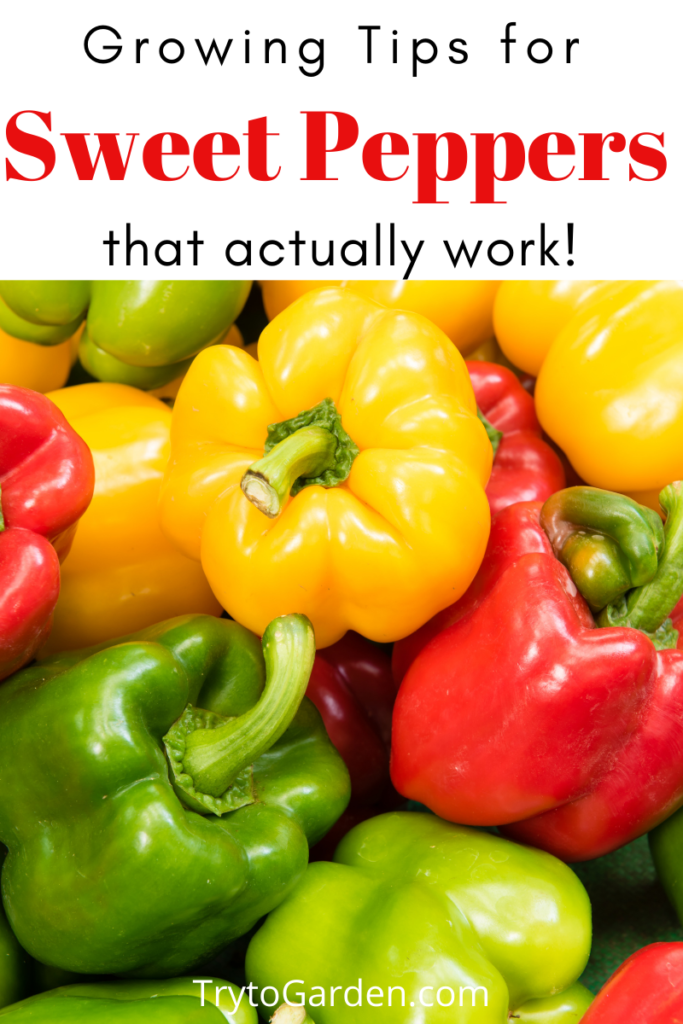 Gardening Tips for Sweet Peppers That Actually Work! article cover image of multi colored bell peppers