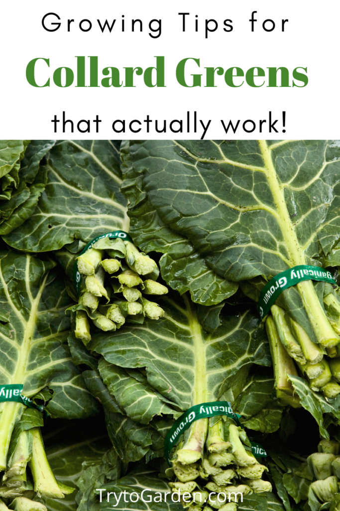 Gardening Tips for Collard Greens That Actually Work