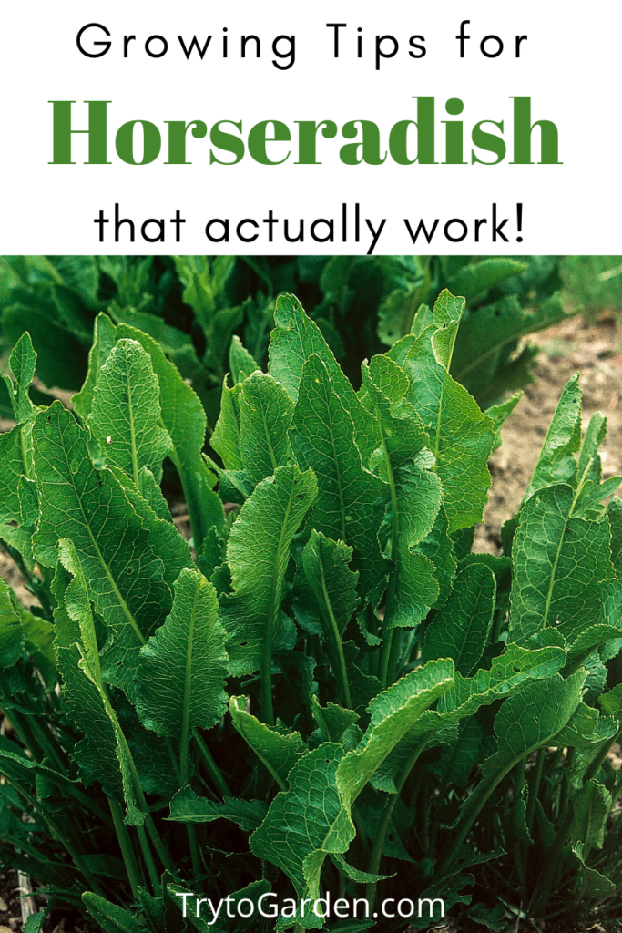 Gardening Tips for Horseradish That Actually Work!  article cover image with plants in the garden