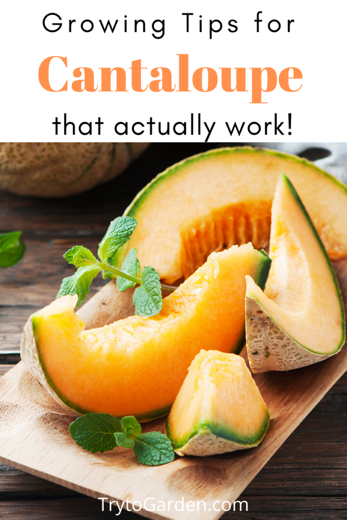 Gardening Tips for Cantaloupe That Actually Work! article cover image with cantaloupe on it