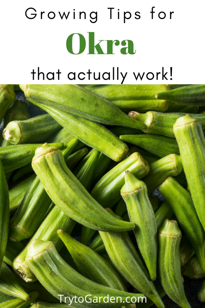 Gardening Tips for Okra That Actually Work!