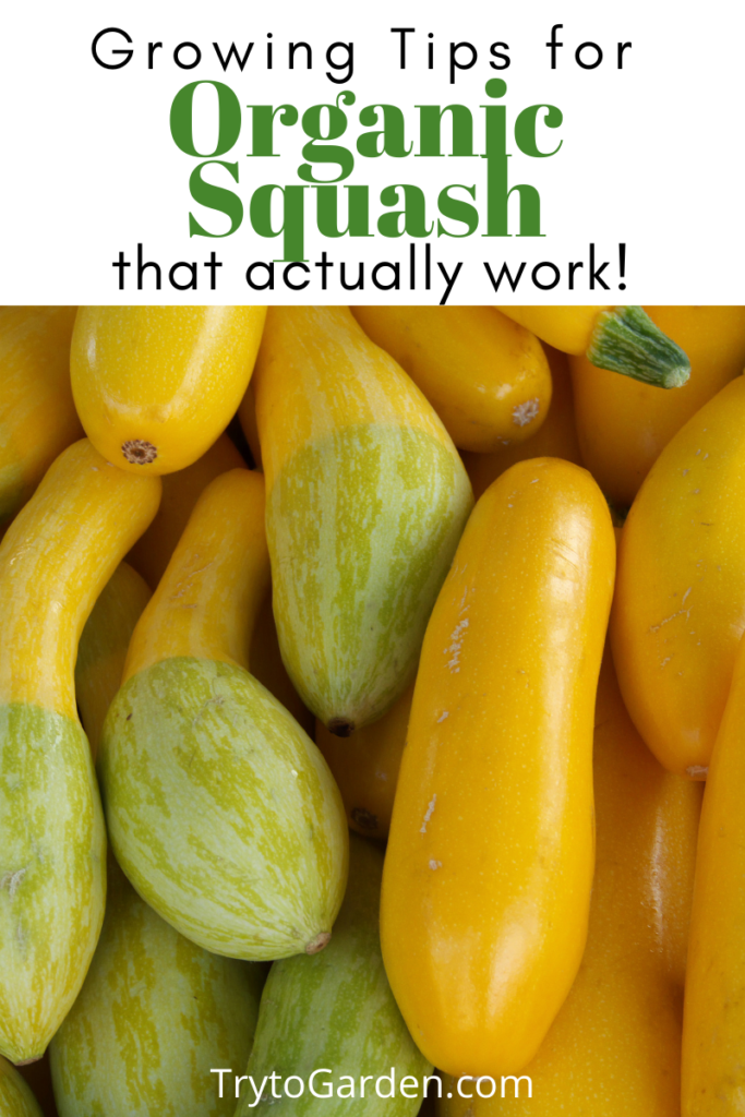 Gardening Tips for Organic Squash That Actually Work! article cover image with yellow squash on it