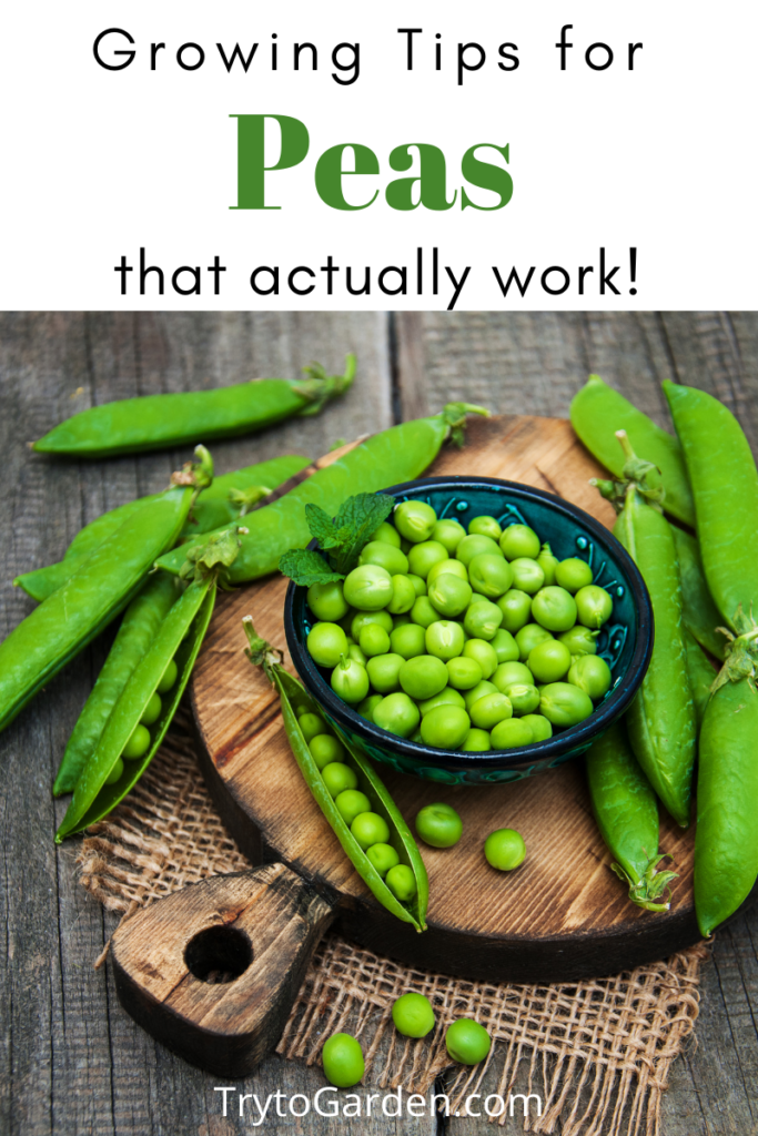 Gardening Tips for Peas That Actually Work! picture of peas in a bowl. Article cover image