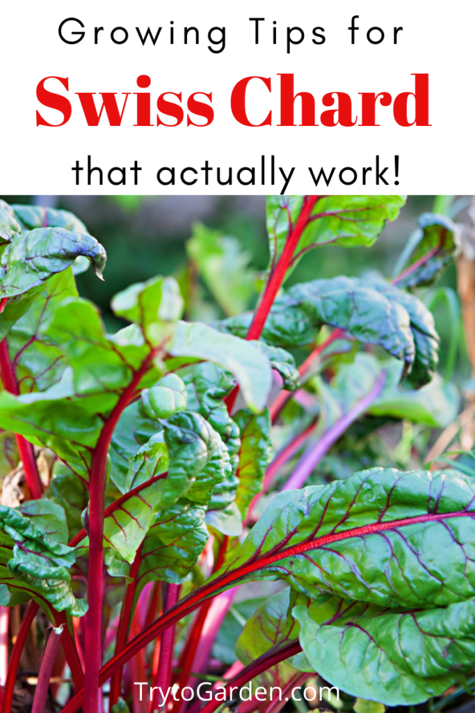 Gardening Tips for Swiss Chard That Actually Work! article cover image showing chard in the garden