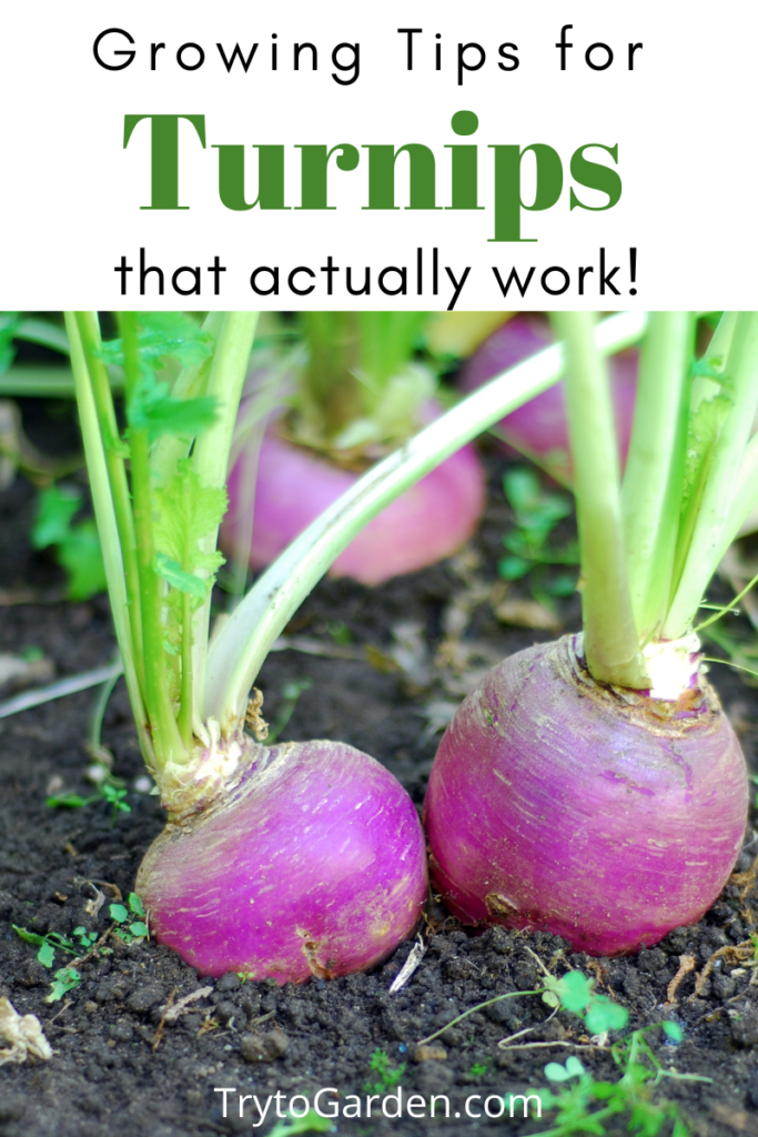 Gardening Tips for Turnips That Actually Work!