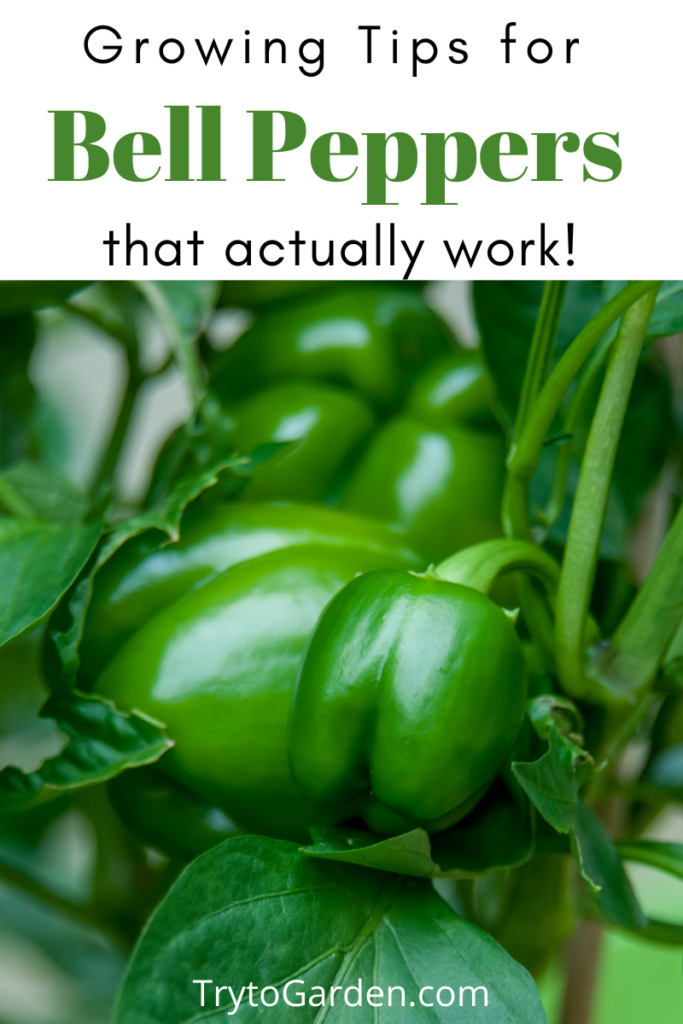 Gardening Tips for Sweet Peppers That Actually Work!