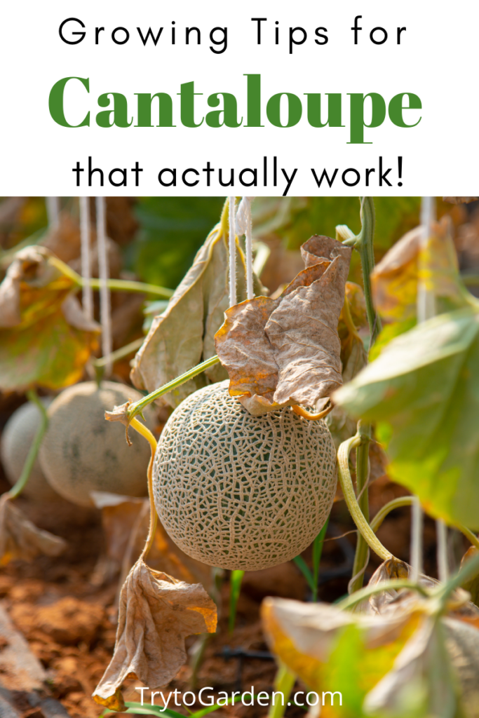 Gardening Tips for Cantaloupe That Actually Work!