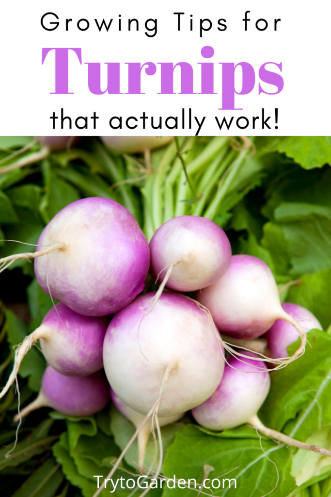 Gardening Tips for Turnips That Actually Work! Article cover image with purple topped turnips