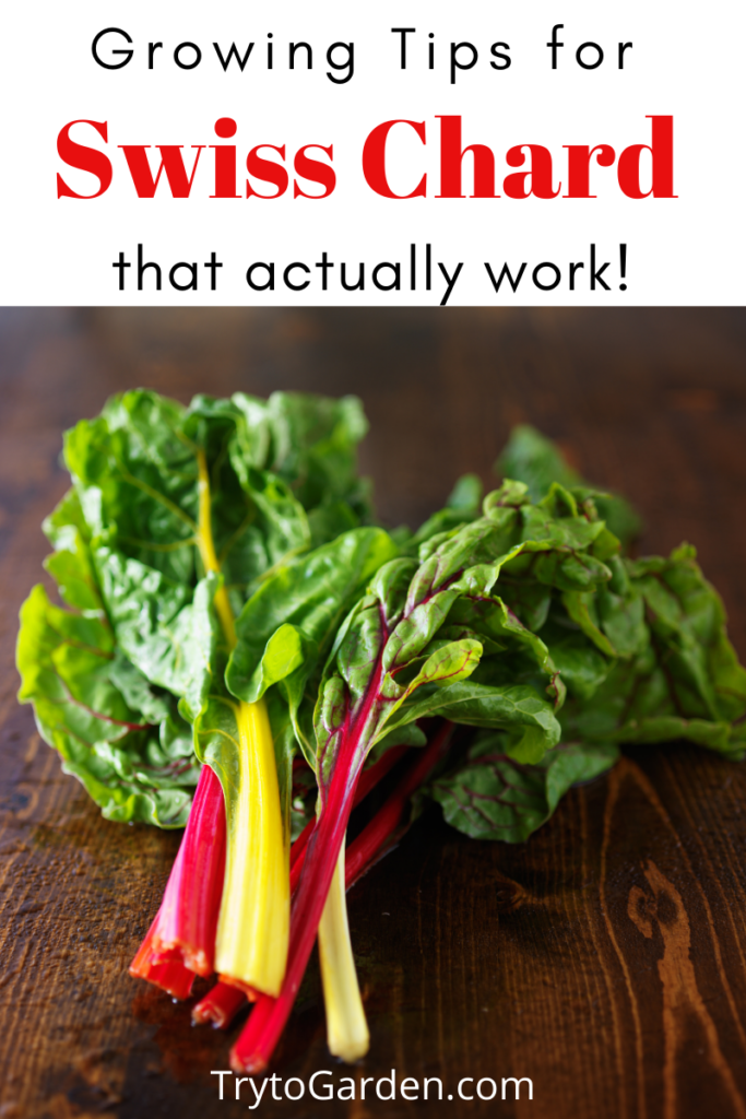 Gardening Tips for Swiss Chard That Actually Work!