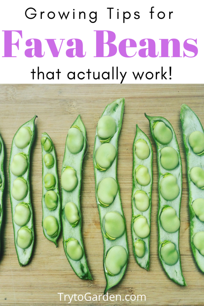 Gardening Tips for Fava Beans That Actually Work! fava beans in their pods