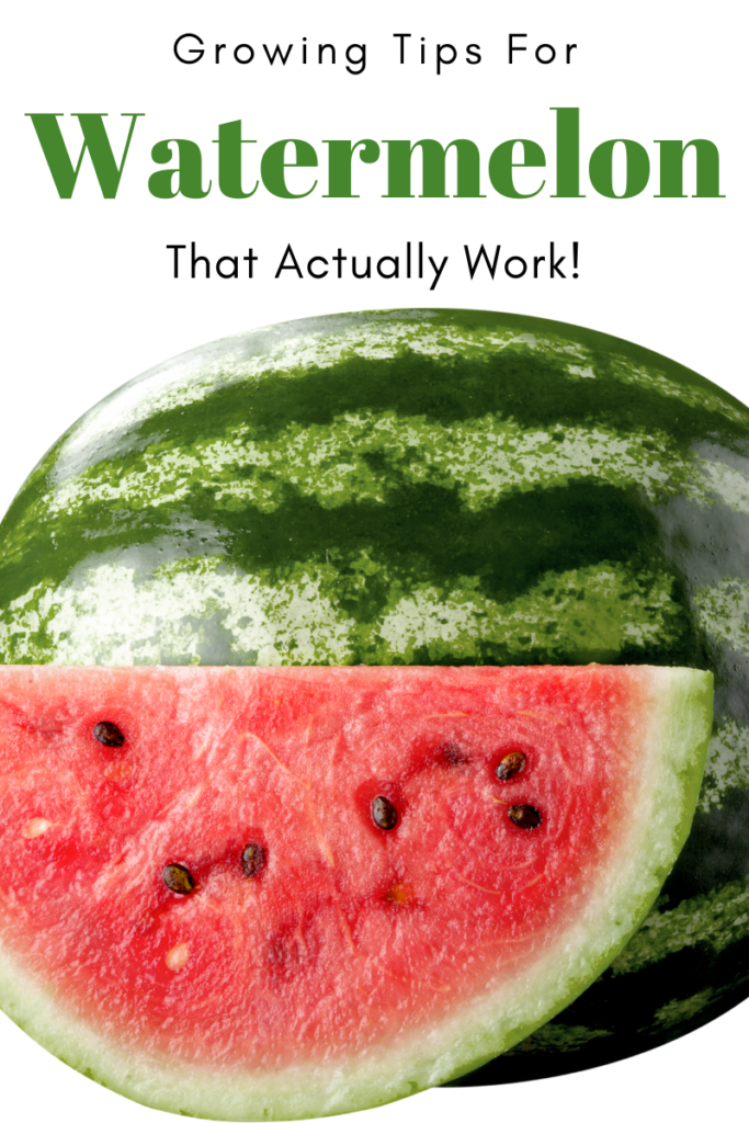 Gardening Tips for Watermelon that Actually Work! picture of a watermelon