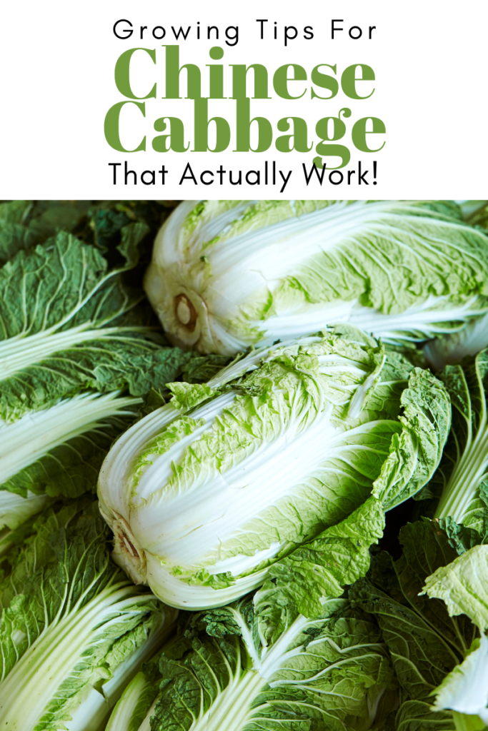 Gardening Tips for Chinese Cabbage That Actually Work!