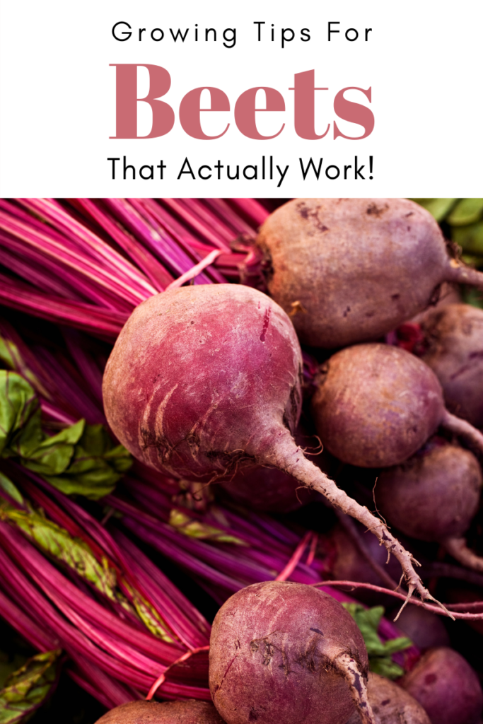 Gardening Tips for great Beets That Actually Work! picture of beets