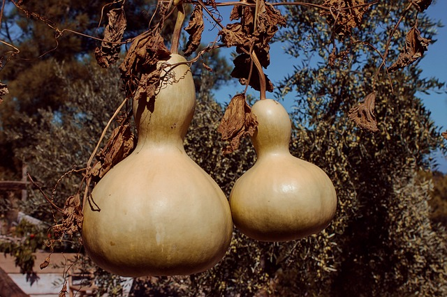 How to Dry Gourds Grown this Spring