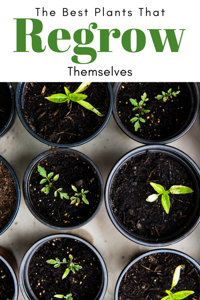 Plants That Regrow Themselves as seedlings in pots
