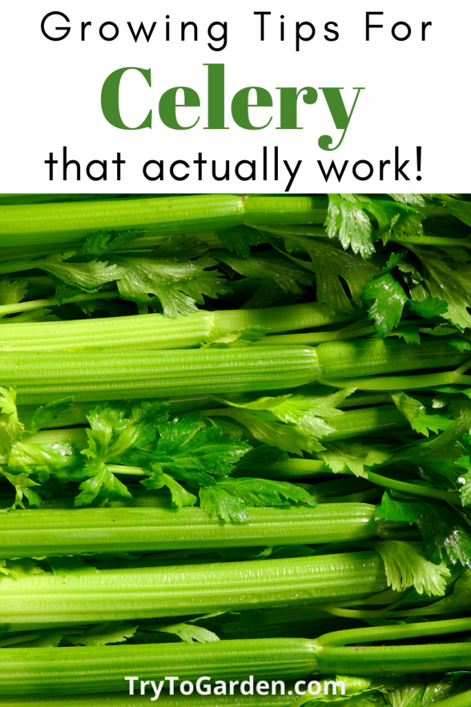 growing tips for celery that really work