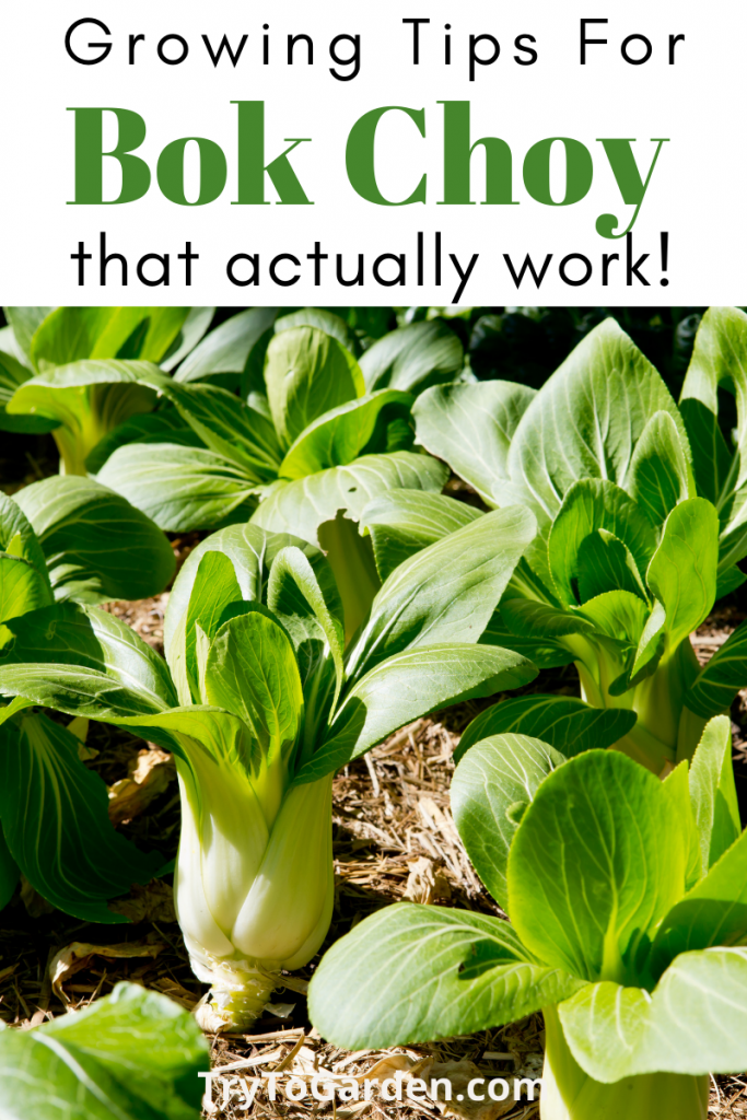 Gardening Tips for Bok Choy that really work