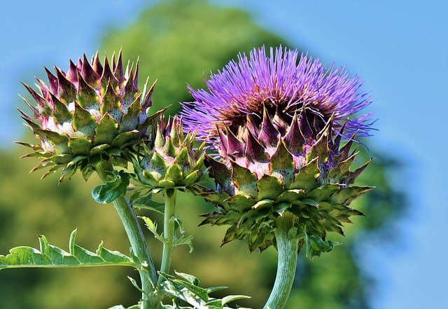 Gardening Tips for Artichokes That Actually Work!