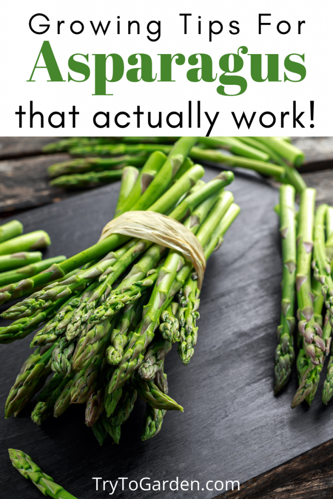 Gardening Tips for Asparagus That Actually Work!