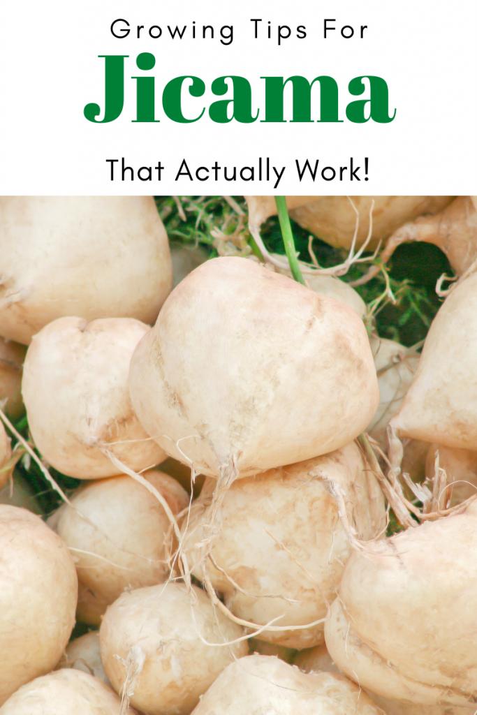 Gardening Tips for Jicama that Actually Work