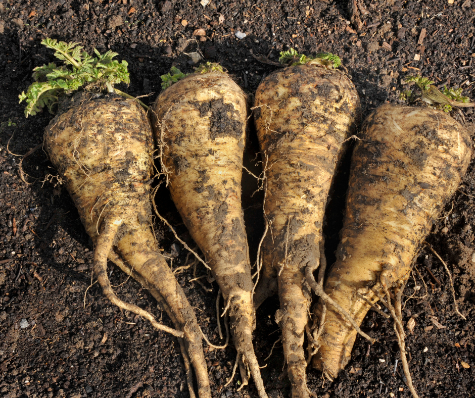Gardening Tips for Parsnips That Actually Work!
